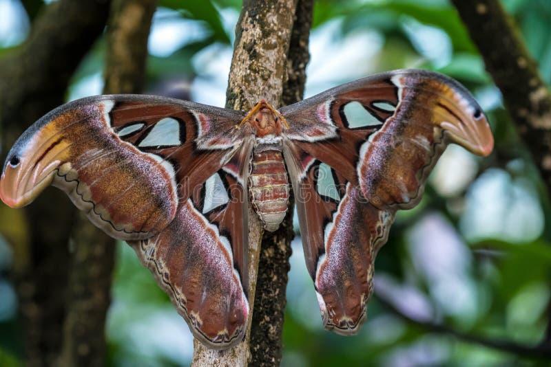 De motten van de Attacusatlas zijn ??n van grootste lepidopterans in de wereld stock afbeeldingen