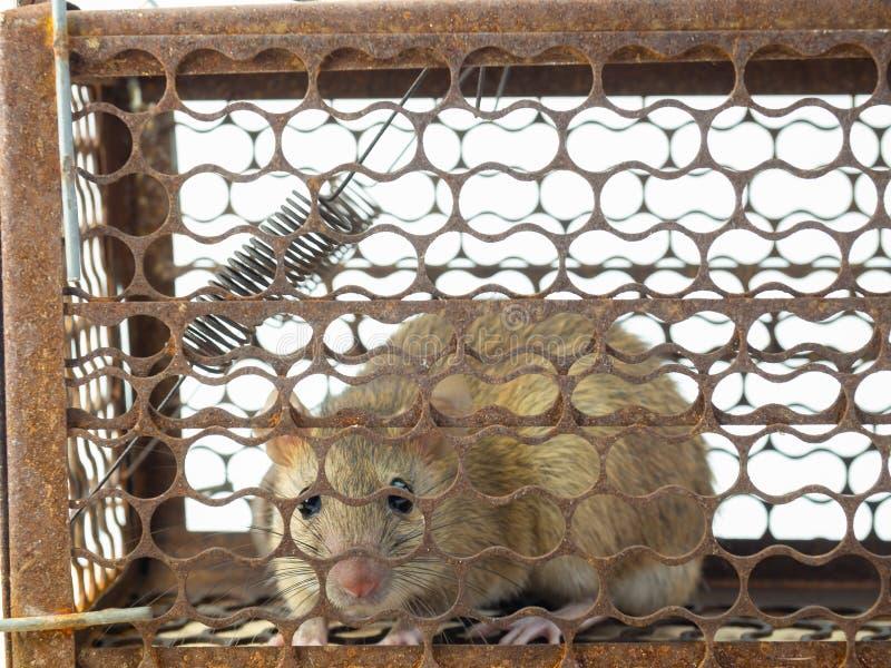 De muis is in de val stock afbeelding