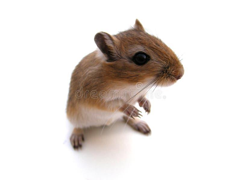 De muis van de woestijnrat royalty-vrije stock foto