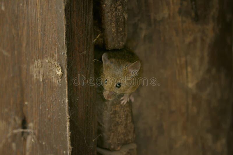 De muis van het huis, musculusdomesticus royalty-vrije stock afbeeldingen