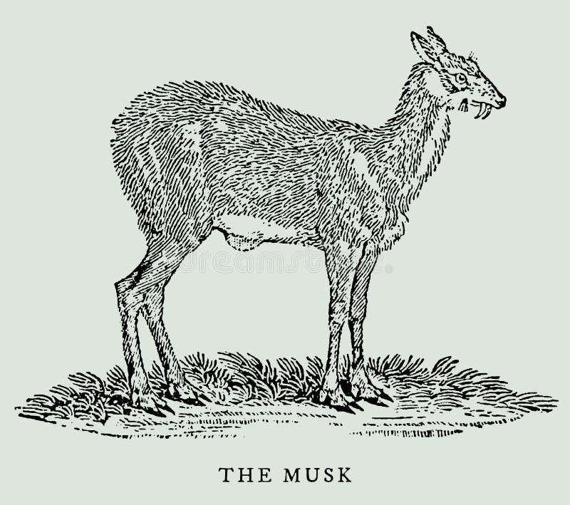 De muskus of Siberische moschusmoschiferus van muskusherten in profielmening Illustratie vector illustratie