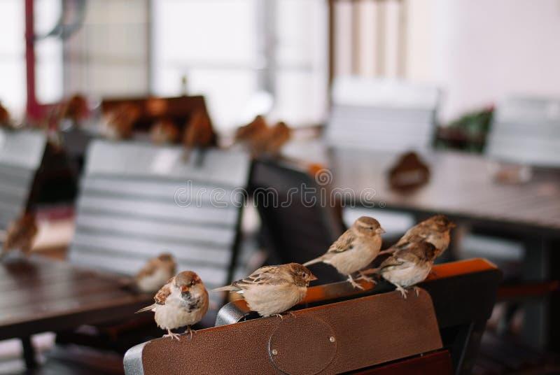 De mussen zitten op de lege bruine stoelen in koffie stock fotografie