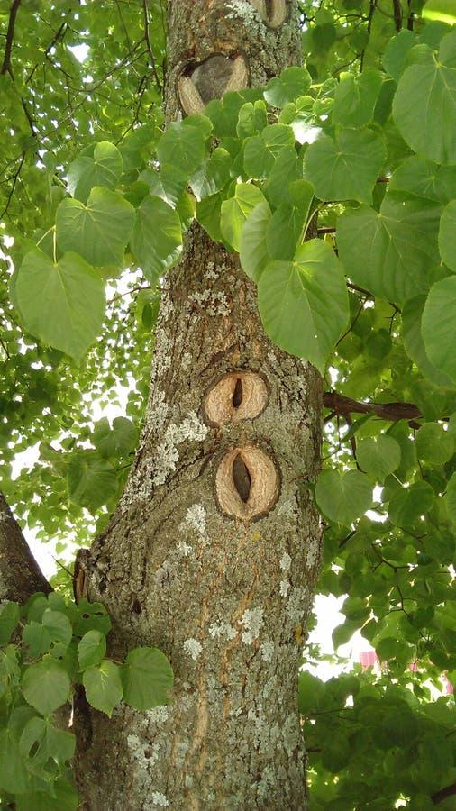 De muurdocument van de lindeboom beeld stock foto