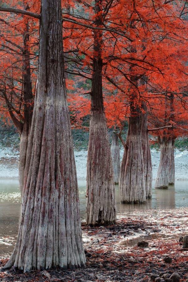 De mysticus zet rood houten de herfst mooi landschap onder water van de cipresboom Dy Anapa, Rusland, de Kaukasus van het Sukkome stock foto's