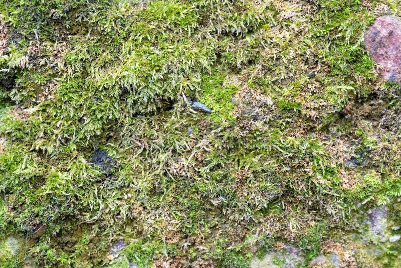 De naadloze textuur van de steenmuur met mos stock afbeeldingen
