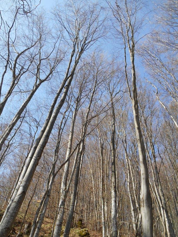 De naakte bomen in het bos royalty-vrije stock foto's