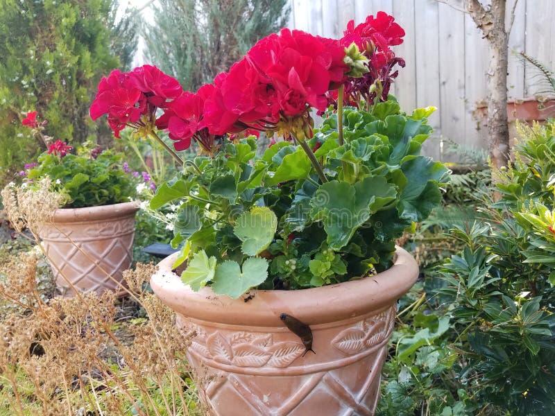 De naaktslak en het slijm slepen op kleipot met installatie met rode bloemen en groene bladeren stock foto's