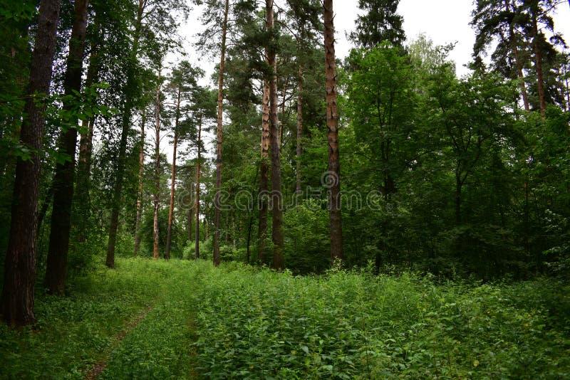 De naald nette bossen groeien op slechte podzolic gronden, en de spar verkiest zwaardere leemachtig royalty-vrije stock foto's