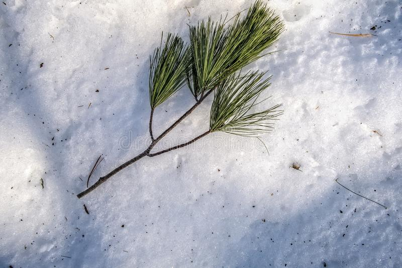 De naalden van pijnboom op sneeuw stock foto