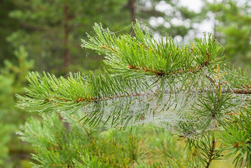 De naalden van de pijnboomboom met dauw bij spinneweb stock foto