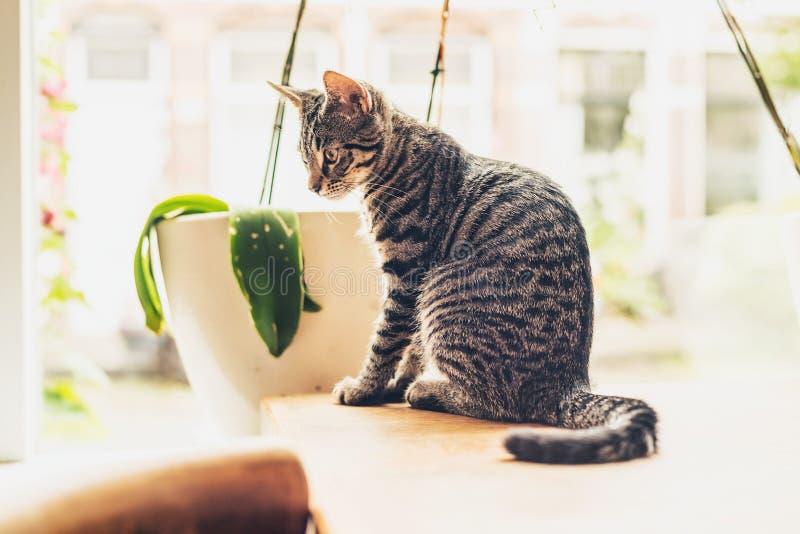 De nadenkende gestreepte zitting van de gestreepte katkat in de zon stock foto's