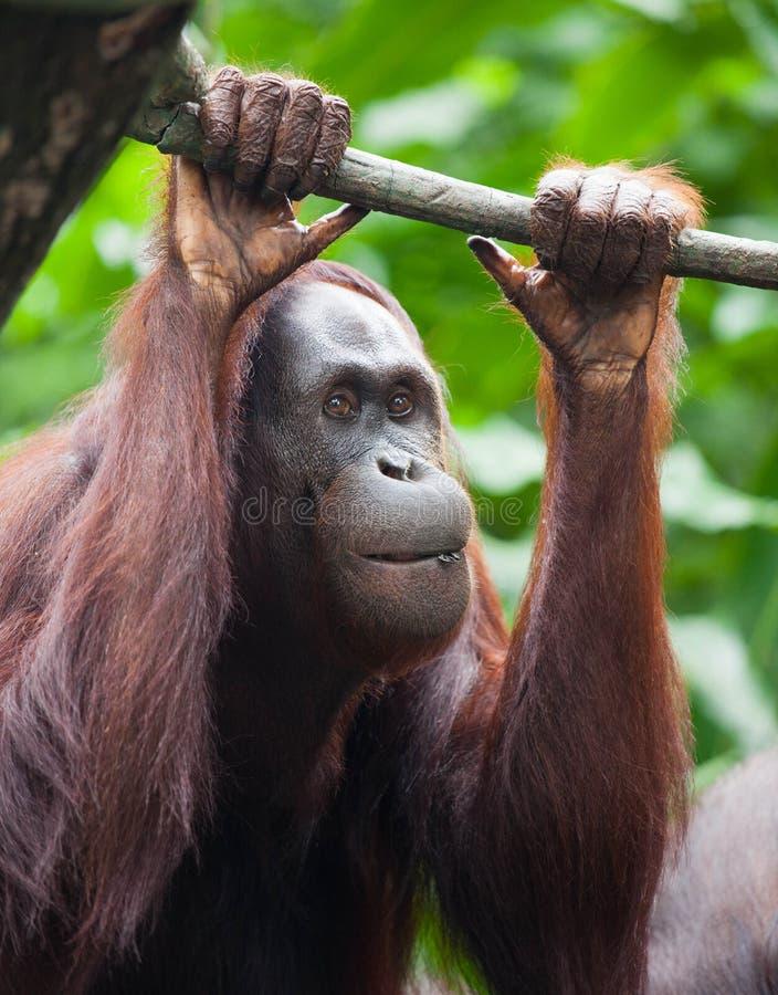 De nadenkende mening van het Orangoetanportret Sluit omhoog Orangoetangezicht stock afbeelding