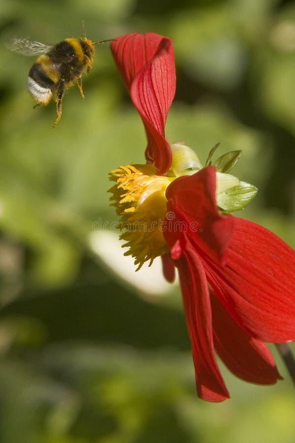 De naderbij komende bloem van de hommel stock afbeeldingen