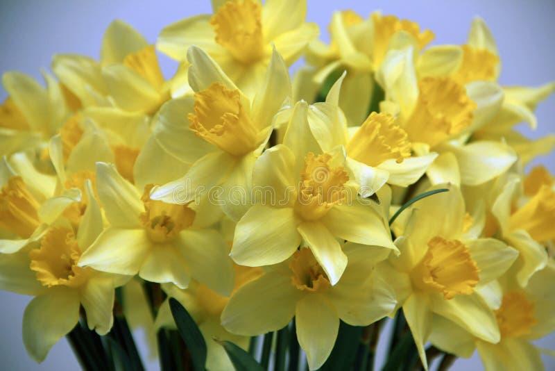 Download De Narcissen Pakken Hun Trompetten Uit Stock Foto - Afbeelding bestaande uit geel, partij: 39108696
