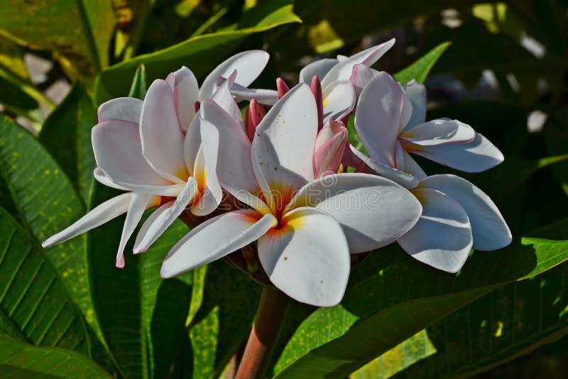 De nationale bloem van Laos royalty-vrije stock afbeelding