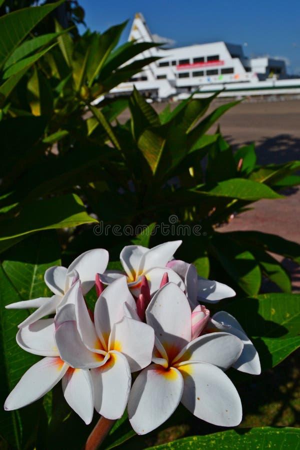 De nationale bloem van Laos royalty-vrije stock afbeeldingen