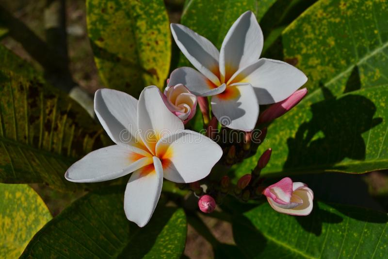 De nationale bloem van Laos royalty-vrije stock foto