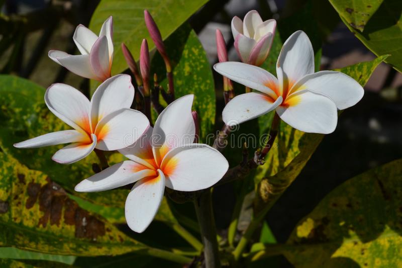 De nationale bloem van Laos royalty-vrije stock fotografie