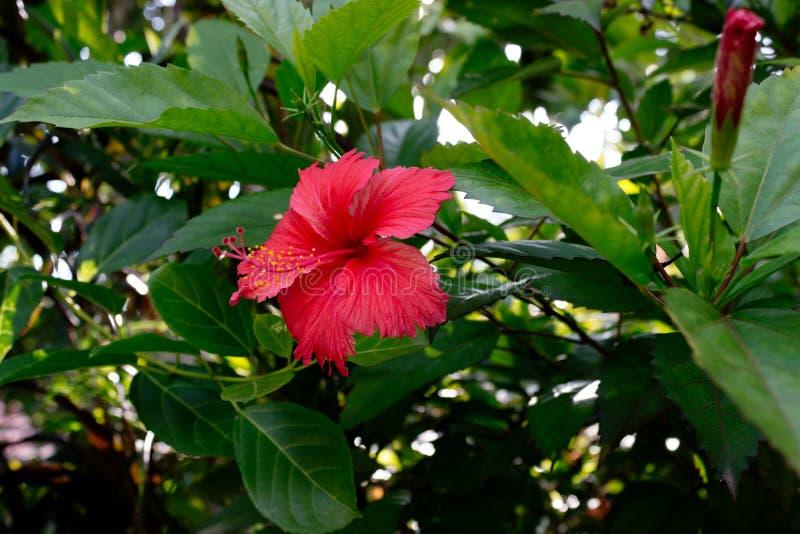 De nationale bloemen van Sri Lanka - de rode van de Schoenbloem of Hibiscus rosa-sinensis Chinese en Hawaiiaanse hibiscus, China  stock afbeelding