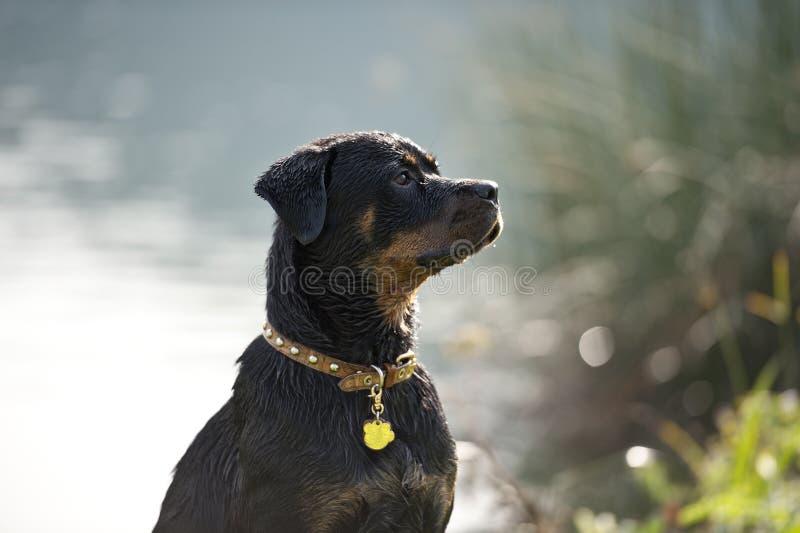De natte Hond luistert royalty-vrije stock foto's
