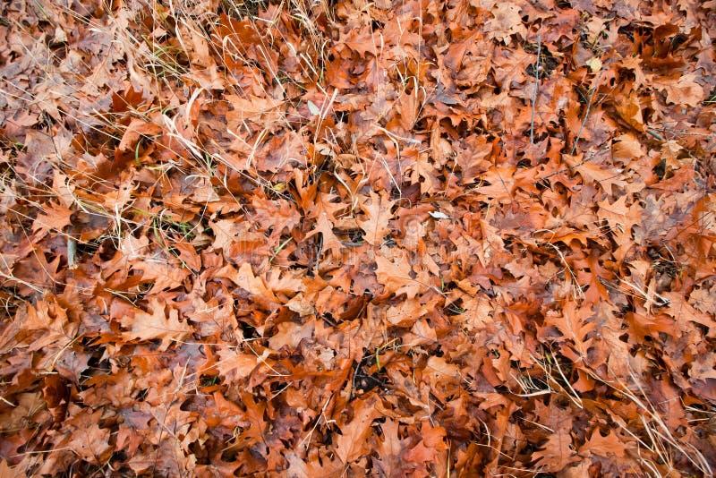 De natte oranje gevallen eiken bladeren liggen op gras en het mos in een de herfstweide, seizoengebonden emotionele vlakte legt a royalty-vrije stock fotografie