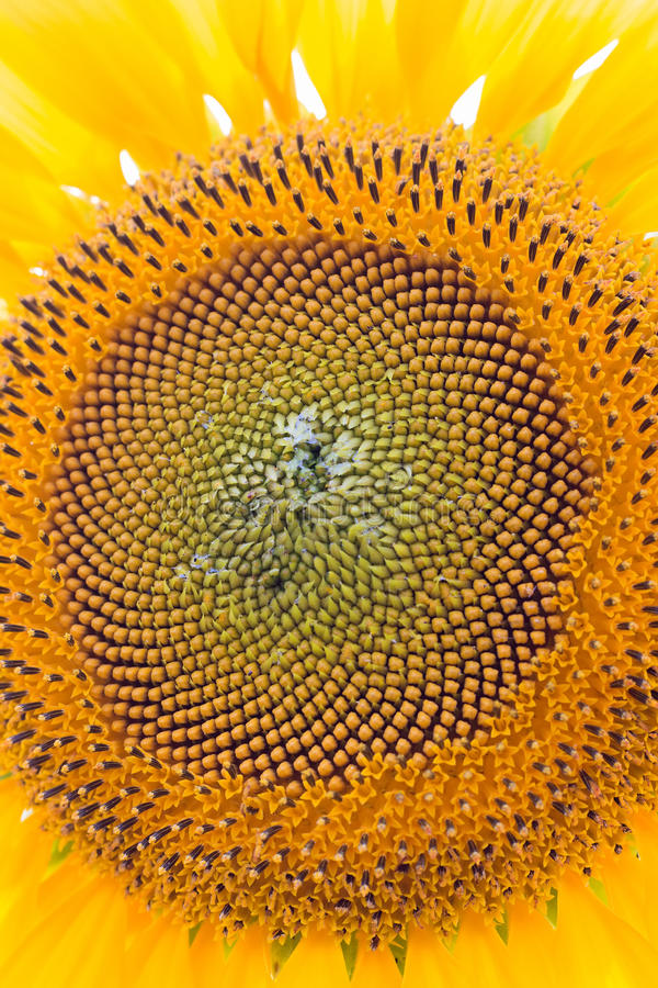 De natuurlijke achtergrond van de close-upzonnebloem stock afbeelding