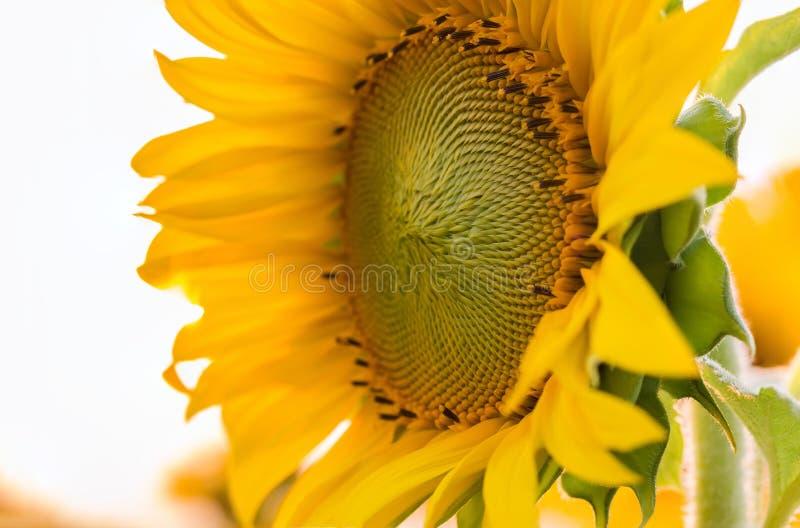 De natuurlijke achtergrond van de close-upzonnebloem stock foto's