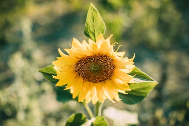 De natuurlijke achtergrond van de zonnebloem Close-upmening van zonnebloemen in bloei Zonnebloemtextuur en achtergrond stock afbeelding