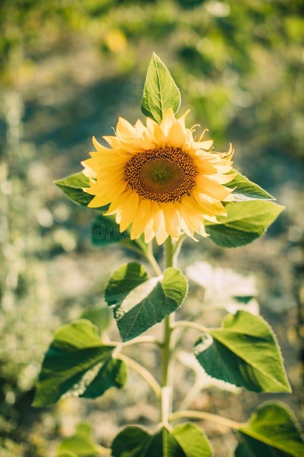 De natuurlijke achtergrond van de zonnebloem Close-upmening van zonnebloemen in bloei Zonnebloemtextuur en achtergrond stock foto's