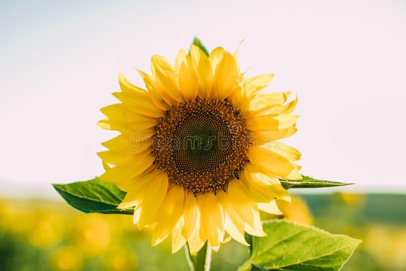 De natuurlijke achtergrond van de zonnebloem Close-upmening van zonnebloemen in bloei Zonnebloemtextuur en achtergrond stock foto