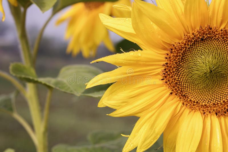 De natuurlijke achtergrond van de zonnebloem Zonnebloem het bloeien Close-up van zonnebloem stock foto's