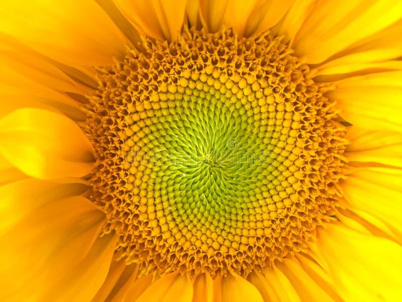 De natuurlijke achtergrond van de zonnebloem Zonnebloem het bloeien Close-up De zonnebloemen symboliseren bewondering, loyaliteit stock foto