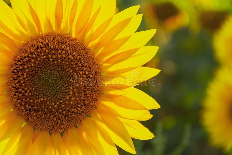 De natuurlijke achtergrond van de zonnebloem Zonnebloem het bloeien Landbouw fild royalty-vrije stock afbeeldingen