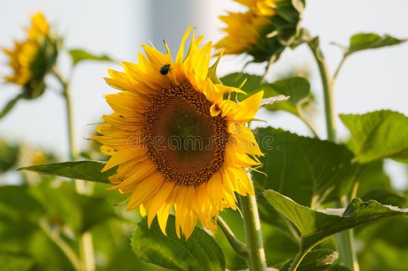 De natuurlijke achtergrond van de zonnebloem Zonnebloem op het gebied royalty-vrije stock afbeeldingen