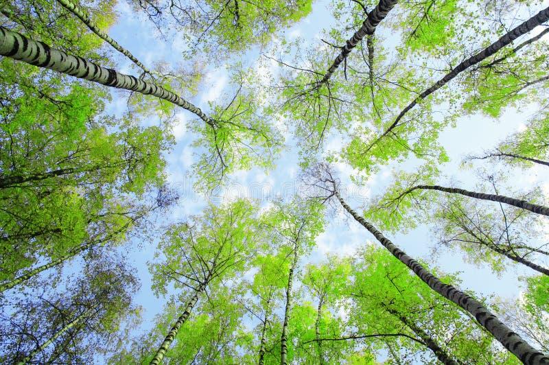 De natuurlijke achtergrondbodemmening van de bovenkanten van berkbomen rekt zich naar de blauwe hemel met groene succulente verse stock afbeeldingen