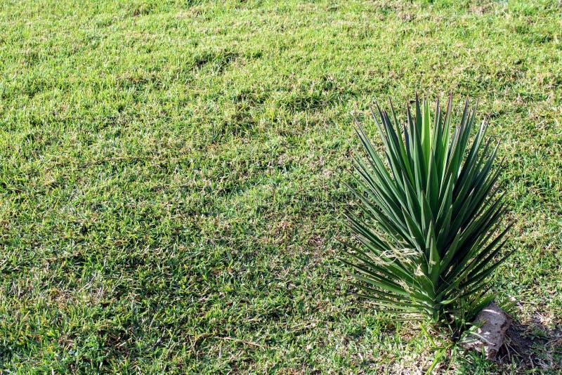 De natuurlijke kleine palm van het graseind royalty-vrije stock afbeelding