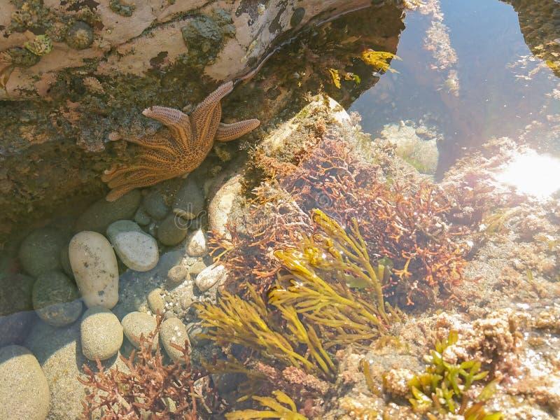 De natuurlijke mariene vissen van de het levens oranje ster royalty-vrije stock foto