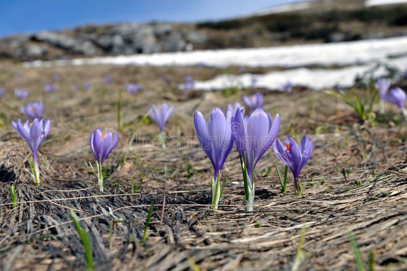 De Nederlandse bloemen van de de lentekrokus stock afbeelding