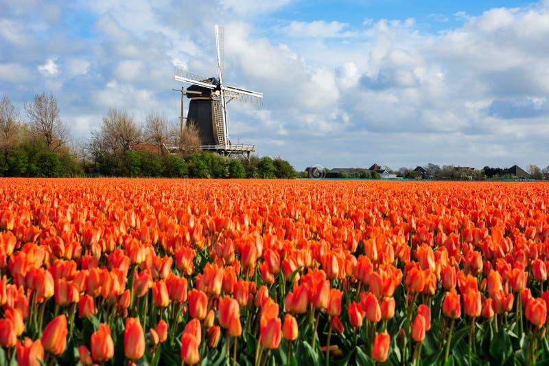 De Nederlandse oranje scène van het tulpengebied in Julianadorp stock foto's