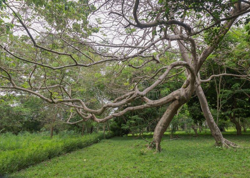 De neiging misvormde boom zoals die in de Botanische tuin van Bingerville in de Kooi D ` Ivoire wordt gezien van Ivoorkust stock foto