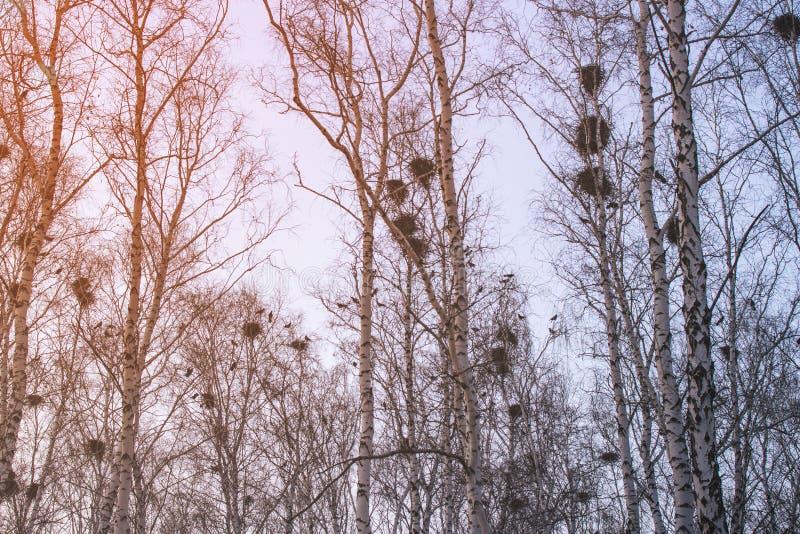 De nesten van de kraai op berken bij zonsondergang en maan stock afbeelding