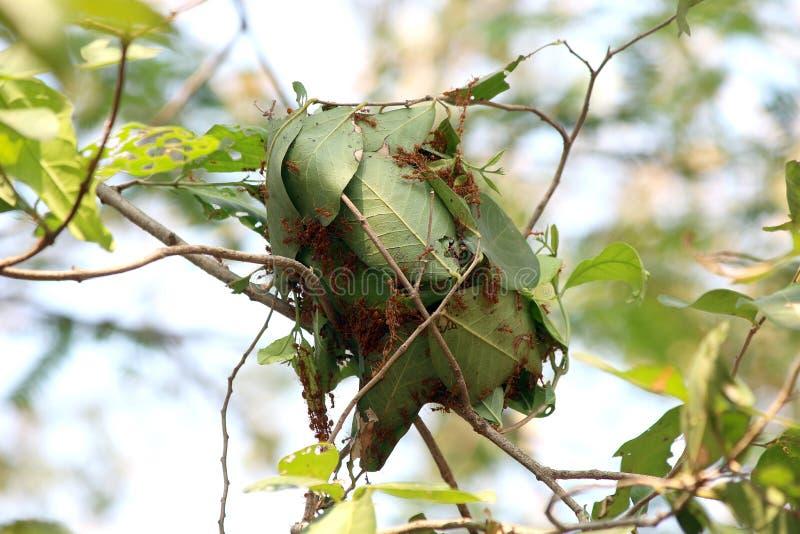De nestmier, Mieren nestelt op groene bladeren van een boom door samen toe te treden stock afbeelding