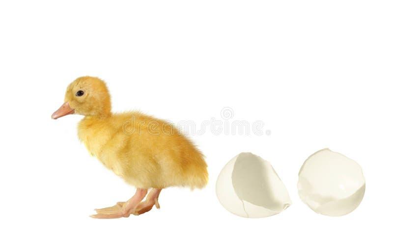 De nestvogel de eend en shell van ei royalty-vrije stock afbeeldingen