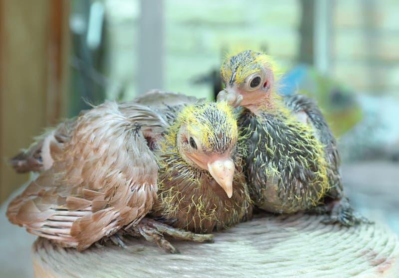 De nestvogel van de duif stock foto's