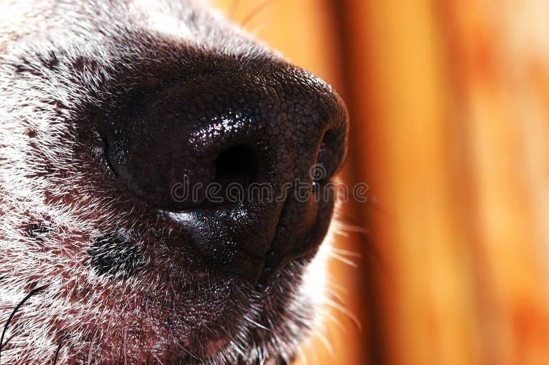 De neus van de hond royalty-vrije stock afbeeldingen