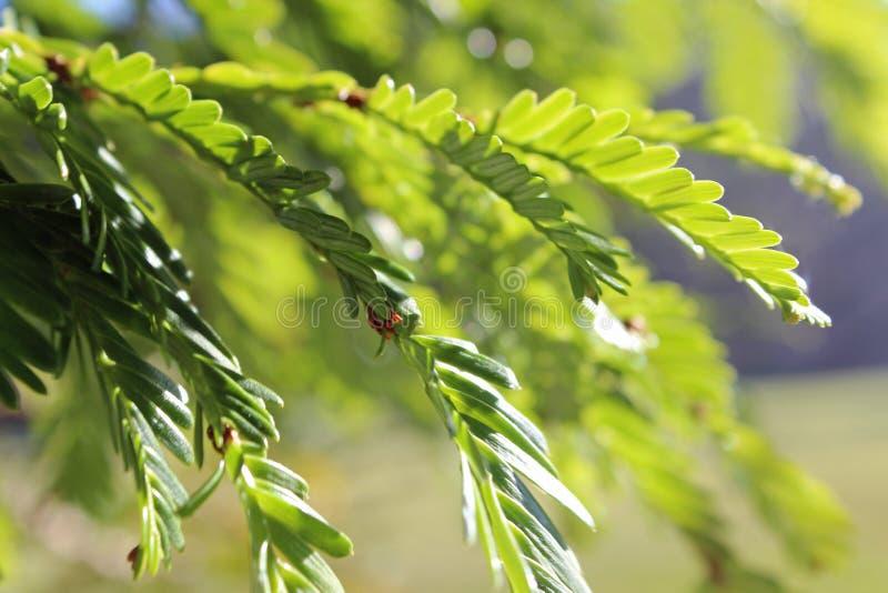 De nevel van de Californische sequoianaald stock fotografie