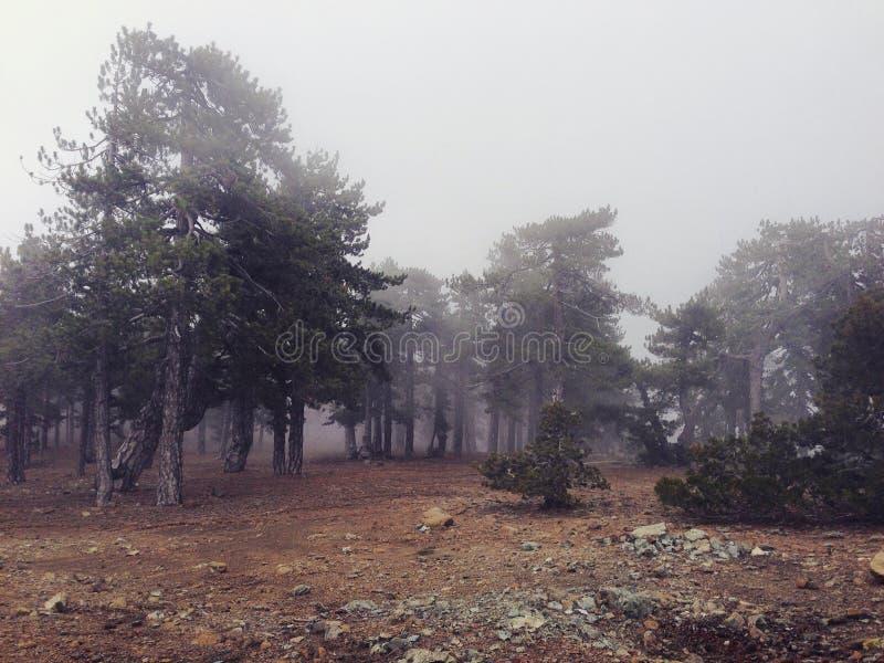 De nevelige bomen van de bergpijnboom in Cyprus stock afbeelding