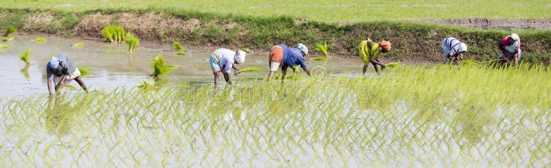De niet geïdentificeerde groep vrouwen plantte rijst over schiet zij plant het nieuwe gewas in het padieveld stock afbeeldingen