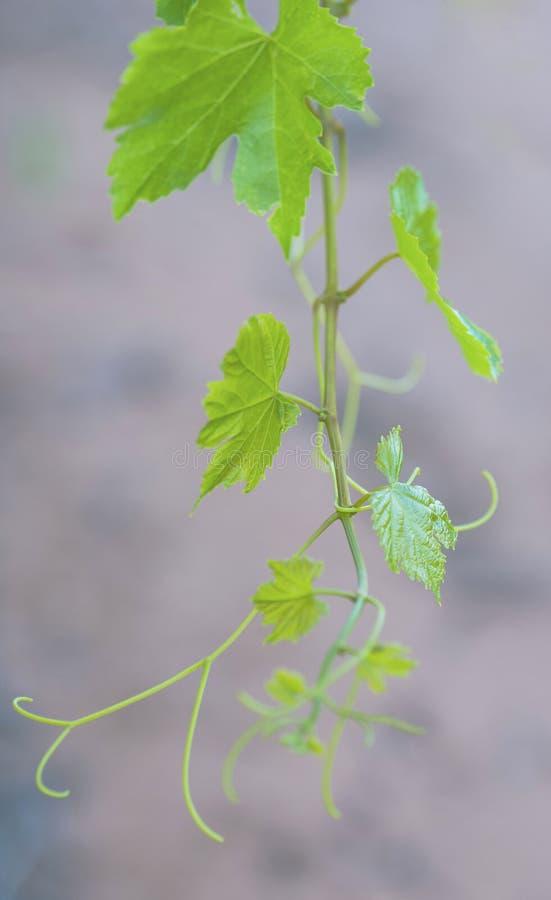 De nieuwe Groei op Wijnstok royalty-vrije stock foto