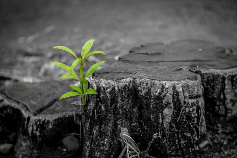 De nieuwe groei van oud concept Gerecycleerde boomstomp die een nieuwe spruit of een zaailing kweken Oud oud logboek met warme gr stock foto